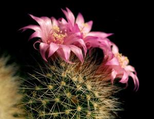 мифы о выращивании кактусов