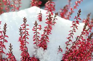 утепление многолетних растений