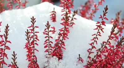 Каким растениям на участке необходимо укрытие на зиму?